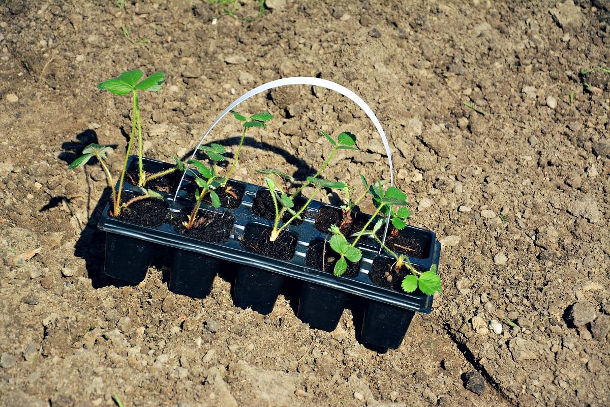 truskawki kiedy sadzić